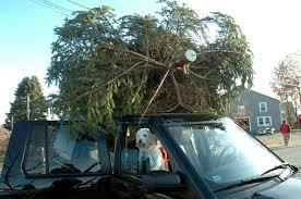 Aspirin Keep Christmas Trees Alive by New York Today Keeping A Christmas Tree Green The New York Times