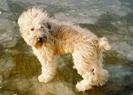 soft coated wheaten terrier puppies for sale wheaten terrier