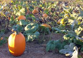 Pumpkin Picking Nj by Pick Your Own Pumpkins At Melick U0027s Town Farm