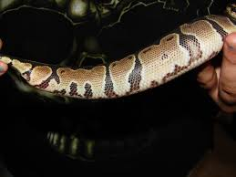 Ball Python Shedding Eating by 100 Ball Python Shedding Eating 57 Best Ball Pythons Images