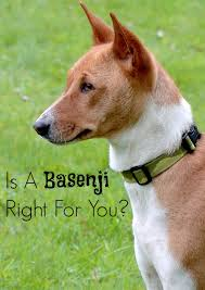 Non Shedding Dogs Large by Is The Basenji The Right Hypoallergenic Dog For You
