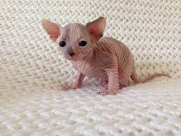 Are Sphynx cats hypoallergenic