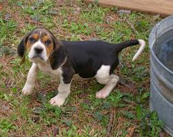 Do Bluetick Coonhounds Shed by Treeing Walker Coonhound