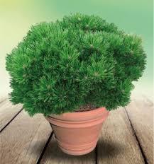 pin nain pierrick bregeon brepo plante en ligne