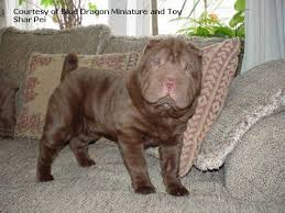 Do Shar Peis Shed A Lot by 19 Best Shar Pei Images On Pinterest Photographers Blue Shar