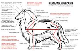 Sheltie Shedding In Clumps by Mackland Border Collies And Shetland Sheepdogs In South Africa