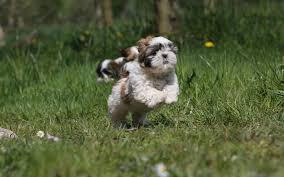 Shih Tzu My Doggy Rocks