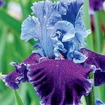 buy perennial irises and iris bulbs flowers