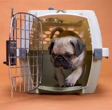 Pug Coming Out Of His Carrier