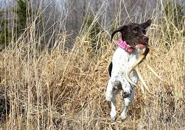 german shorthaired pointer shed shed photograph by brook burling