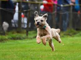 Border Terrier Non Shedding by Border Terrier Dog Breed Information Buying Advice Photos And