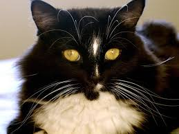 fatty liver cats causes of liver disease in cats petfinder