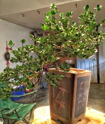 Plantable Christmas Trees Columbus Ohio by Bonsai In Ohio Evan U0027s Trees Adam U0027s Art And Bonsai Blog