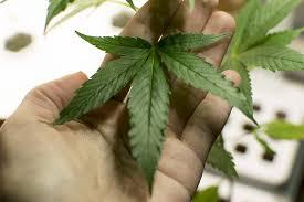 fristlose kündigung bei anbau und konsum cannabis in