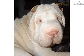 Do Mini Shar Peis Shed by Chinese Shar Pei Puppy For Sale Near Hickory Lenoir North