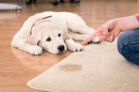 répulsif naturel pour chien solutions anti pipi pour chien ooreka