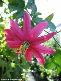 PlantFiles Picture 4 of Pink Passionflower Vine Passion Flower