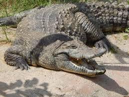 traumsymbol krokodil träumen traumdeutung und mehr