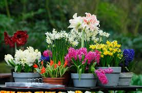 growing fall bulbs in pots s greenhouses