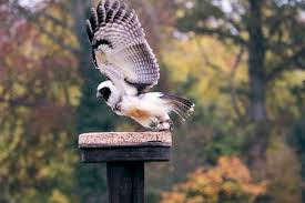 Free Images : Wing, Animal, Cute, Wildlife, Beak, Eagle, Predator ... Barn Owl Looking Over Shoulder Perched On Old Fence Post Stock Eccles Dinosaur Park Carnivore Carnival The Salt Project Barn Moving Head Side To Slow Motion Video Footage 323 Best Owls Images Pinterest Owls Children And Free Images Wing White Night Animal Wildlife Beak Predator 189 Beautiful Birds Sat A Falconers Glove Photo Royalty Image Paris Owl 150 Pictures Snowy More