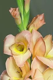 how to grow gladiola bulbs