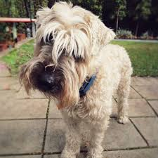 do wheaten terrier dogs shed 100 images soft coated wheaten
