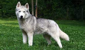 do huskies or malamutes shed more siberian husky breed information
