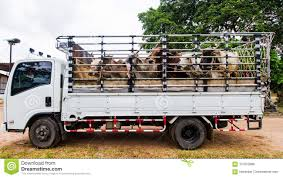 100 Cow Truck S Truck Stock Photo Image Of Exchange Farm Cage 101072886