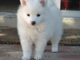 Toy American Eskimo Dog Shedding by Pomimo Dog American Eskimo Pomeranian Mix Info And Pictures