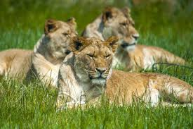 100 Folly Famr Pride Of Pembrokeshire Lion Enclosure Farm Zoo In Wales