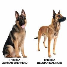 8 best malinois images on pinterest belgian malinois puppies