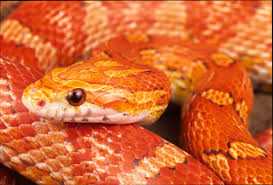 Corn Snake Shedding Time by Corn Snake Care Sheet Natural World Pets