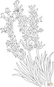 Click The Lavandula Angustifolia Or Common Lavender Coloring Pages To View Printable Version Color It Online Compatible With IPad And Android Tablets