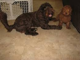 Small Non Shedding Dogs Australia by Iowa Hypoallergenic Australian Labradoodle Puppies Non Shedding