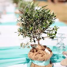 olivenbaum als zimmerpflanze geht das auf dauer gut