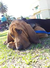 Do Redbone Coonhounds Shed by Bloodhound Dog My Grand Dogs Pinterest Bloodhound Dogs