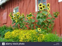 Red Barn With Summer Flowers Sunflowers In Pioneer Park Fairbanks ... The Flower Barn Free Images Tree Branch Wood Leaf Flower Barn Food Home Spring Wedding Flowers By Olga Winter Blue Twig Canada Virginia Local Dinner Healthfully Ever After 3 Livermore Falls Advtiser Tritown Garden Clubs Cherry Hill Pennock Floral My Delivers Joy Through Flowers South Platte