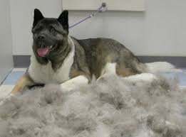 do haired akitas shed hair loss in dogs causes and how to treat them