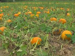 Best Pumpkin Patches Indianapolis by Indiana Farmers Ready Seasonal Crops For Fall Harvest
