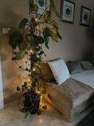 kletterpflanze efeutute mit topf und erde