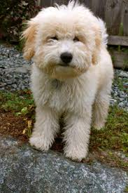 Do Wheaten Terrier Dogs Shed by 100 Do Wheaten Terriers Shed Hand Stripping Terrier Hand