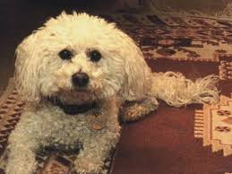 Small White Non Shedding Dog Breeds by Small Curly Dog Breeds Breed Dogs Picture