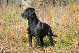 Low Shedding Big Dogs by Labrador Retriever All Big Dog Breeds