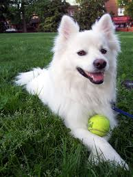 Guard Dogs That Dont Shed by Everything About Your American Eskimo Dog Luv My Dogs