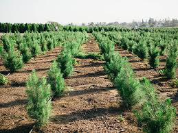 Santa Cruz County Christmas Tree Farms by The Southern California Christmas Tree Garden Betty