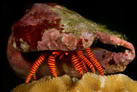 Halloween Hermit Crab by Tulamben Bali 2013 U2013 Ecological Pictures