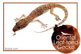 Crested Gecko Shedding Behavior a list of 14 types of geckos with stunning pictures