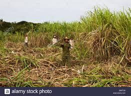 Harvesting Sugar Cane Cuban Interior Cuba