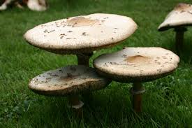 Mushrooms – Growing | Walter Reeves: The Georgia Gardener Mushrooms In Grass Stock Photos Images Common Lawn Mushroom By Greyfox88 On Deviantart An Austin Homestead Wild Edibles Massive Perennial Garden Lover Nh Notes A Diverse Array Of In The Backyard Naturalis Backyards Gorgeous 15 Trees For Wildlife Friendly Edible Outdoor With Growing Your How To Grow And Get Rid Yard Southern Living The Budget Gardener Finally Wild Edible Mushrooms My Backyard Showme Missouri Department Cservation 7 Worlds Most Poisonous Britannicacom