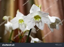 100 Blooming House Plant Eucharis Grandiflora Eucharis Stock